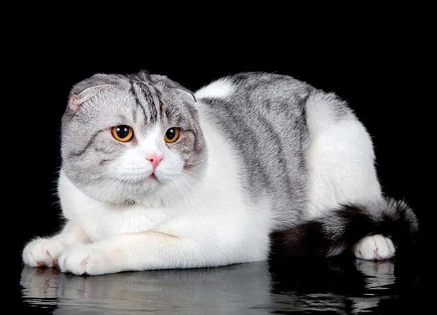 Окрас биколор шотландской вислоухой кошки
