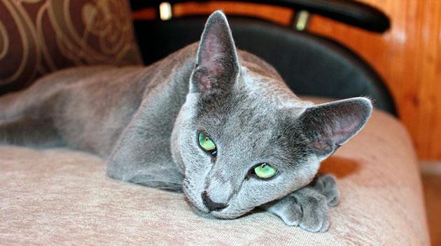 Как правило, болезнями почем и мочевыводящих путей страдают русские голубые кошки в преклонном возрасте