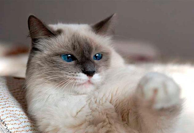 Болезни кошек породы рэгдолл
