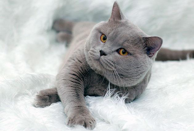 Британские кошки, появились в России в 70-х годах прошлого века