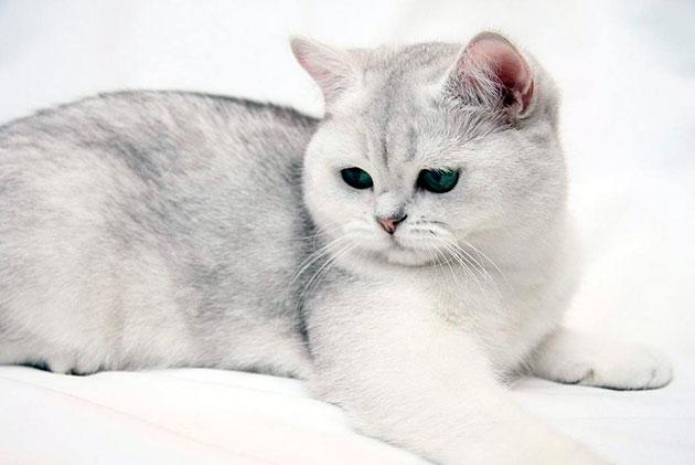 В Европе британские кошки получили широкое распространение