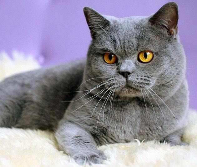 По некоторым версиям в США первые британские короткошерстные кошки появились в XVI веке