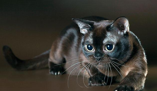 В Европе, клуб любителей бурманских кошек появился в 50-ых годах прошлого века