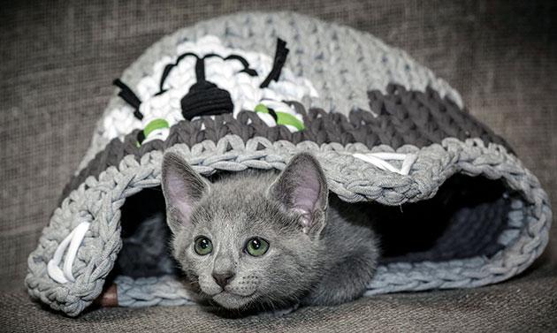 Заболевания сердца у русской голубой кошки считаются самыми опасными
