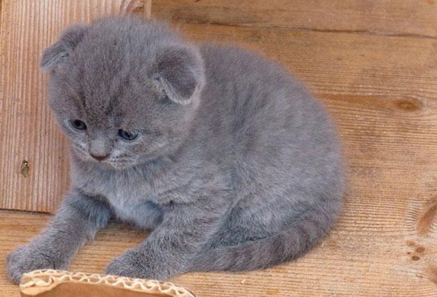 Окрас голубой ван шотландской вислоухой кошки