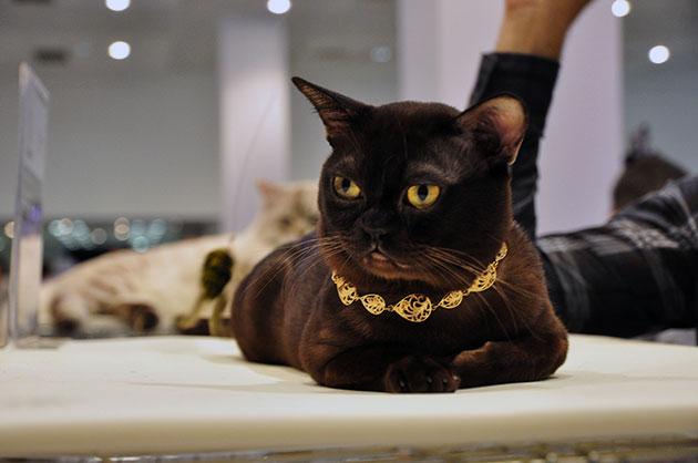 История породы бурманская кошка