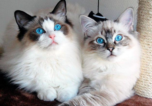 Глаза у рэгдоллов должны быть голубыми