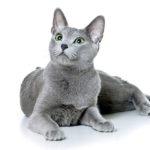 История породы русская голубая кошка
