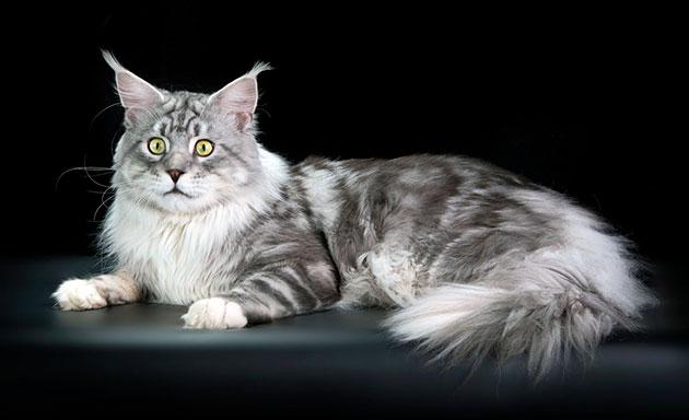 Как показывает практика кличка для кошки мейн куна влияет на её поведение