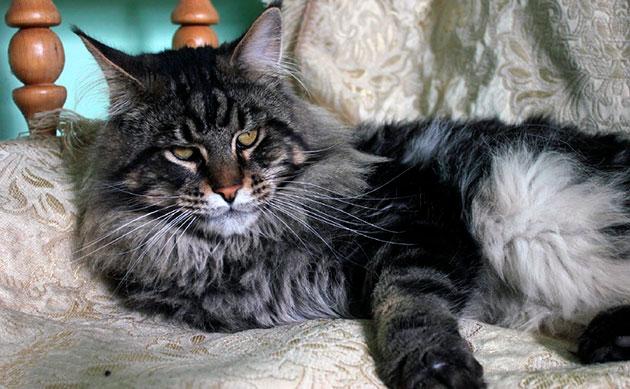 Вид кота мейн куна внушителен, таким желательно наградить его именем