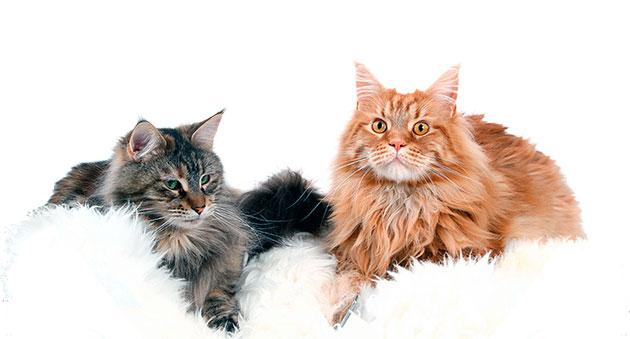 Коты мейн кунов крупнее кошек, а так же весят на порядок больше