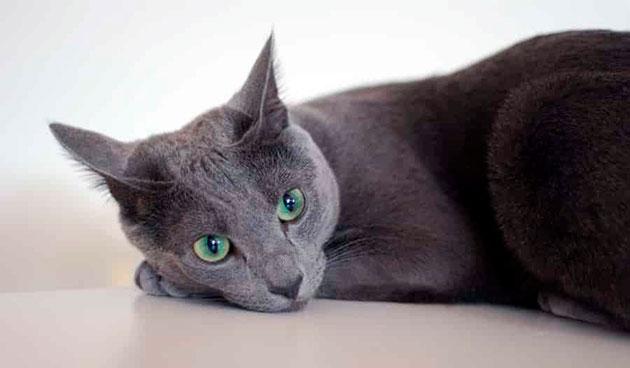 Первыми признаками заболевания у русской голубой кошки, может являться частичный или полный отказ от еды