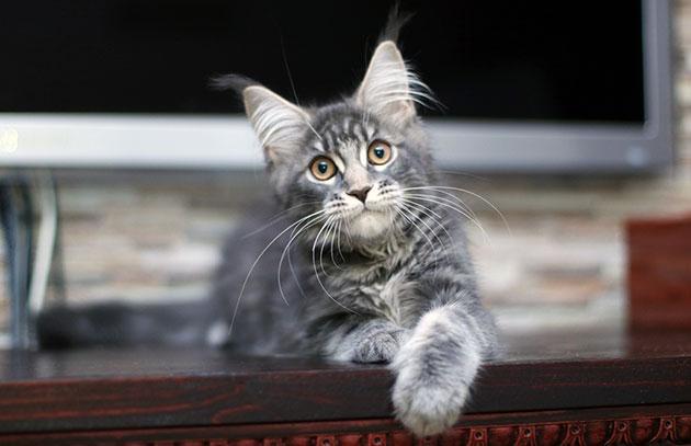 На сегодняшний день мейн-куны делятся на три основных класса: pet, breed, show