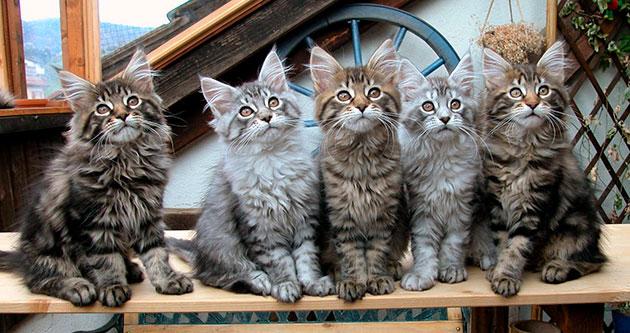 Как правильно выбрать котенка породы мейн-кун