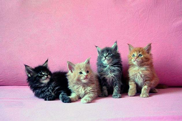 При выборе котенка мейн куна того или иного цвета учтите, что цена может сильно отличаться