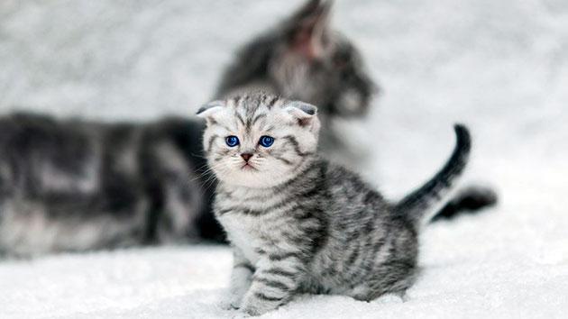 Цифровое обозначение окраса шерсти у шотландских вислоухих кошек облегчает ориентирование в многообразие цветов