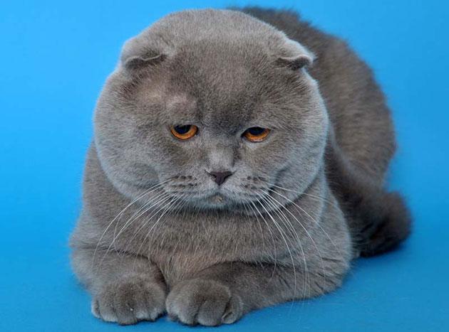 Регулярные посещения ветеринара значительно продлят жизнь британской кошки