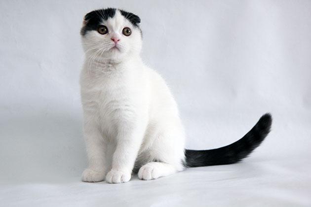 Окрас арлекин шотландской вислоухой кошки