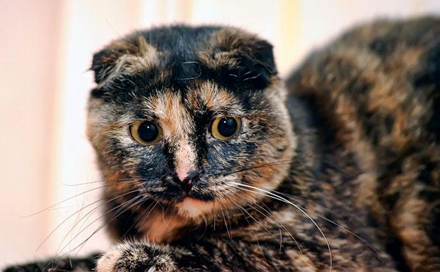 Черепаховый окрас шотландской вислоухой кошки