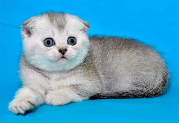 Окрас шиншиллы шотландской вислоухой кошки