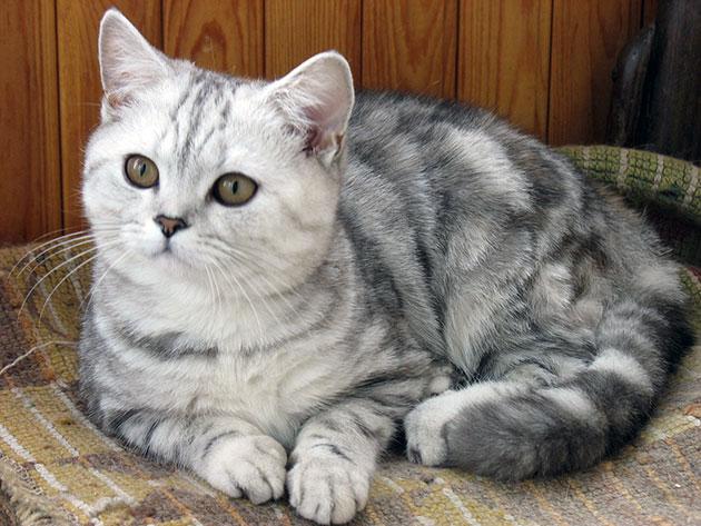 Окрас табби шотландской вислоухой кошки