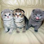 Стандарт породы Шотландской вислоухой кошки