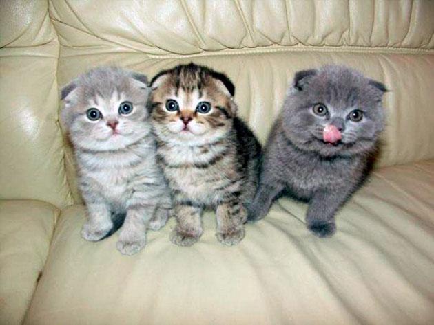 Кошки скоттишфолд встречаются с различными цветами шерсти