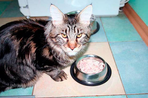 Когда котенок мейн куна подрастет, ему нужно начинать давать готовые корма или готовить натуральную пищу