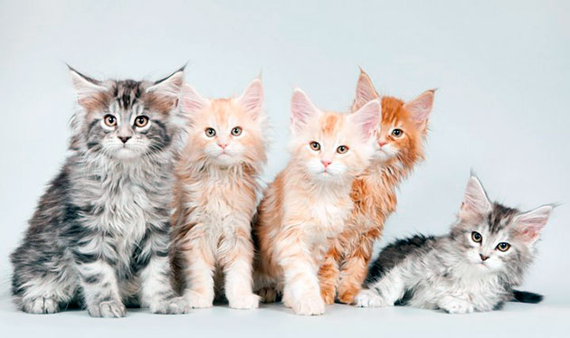 Котенока мейн куна рекомендуется приобретать у официальных заводчиков - это гарантирует крепкое здоровое вашего питомца