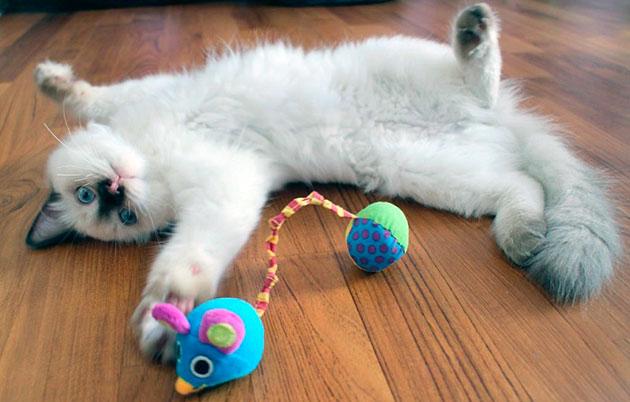 Не забывайте играть со своим рэгдоллом, эмоциональный фон очень важен для кошки
