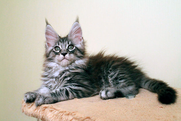 Как правило котята рожденные от крепкой и большой кошки мейн куна набирают вес быстрее