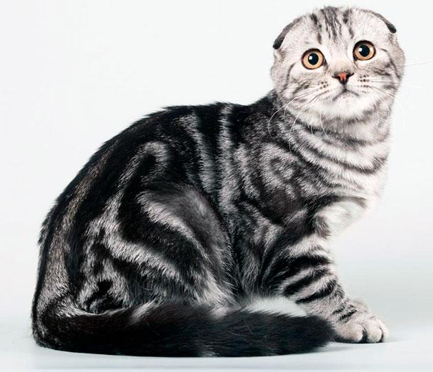 Тело у шотландской вислоухой кошки коренастое с короткой шерстью
