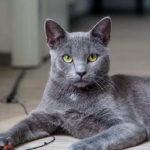 Характер кошек породы русская голубая