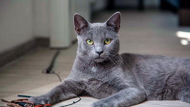 При половом созревание русской голубой кошки, наблюдается сильное изменение поведения