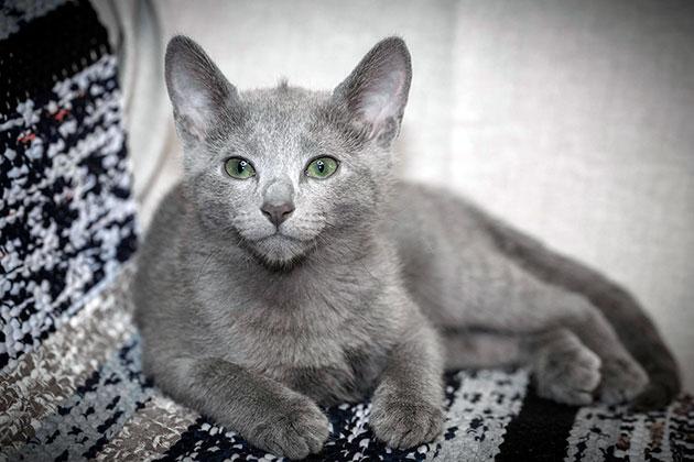 На сегодняшний день стерилизация русских голубых кошек абсолютно безопасна