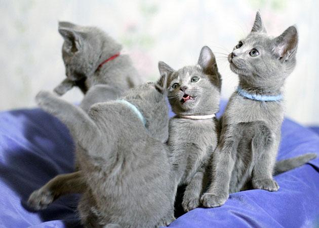 Окрас у русской голубой кошки всегда имеет голубоватый оттенок