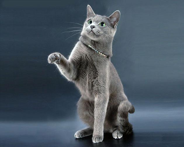 Стандарты породы русская голубая кошка