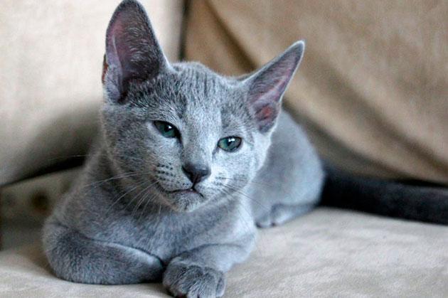 Русские голубые кошки хорошо ладят с детьми, но с младенцами лучше не оставлять наедине