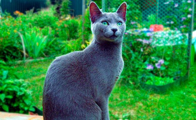 По одной из версий русские голубые кошки появились в Европе в начале XIX века