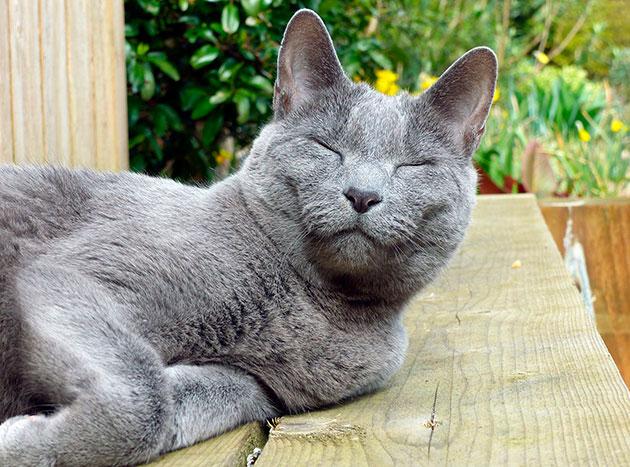 Голова у русской голубой кошки имеет V-образную форму