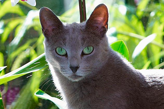 В Скандинавии русские голубые кошки появились в 50-е года прошлого века