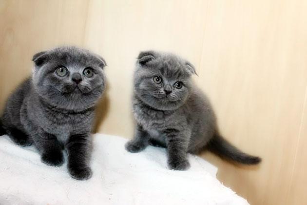 Самцы шотландской вислоухой кошки более независимы, а самки сильнее привязаны к хозяину