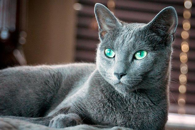 Темперамент у русской голубой кошки консервативный