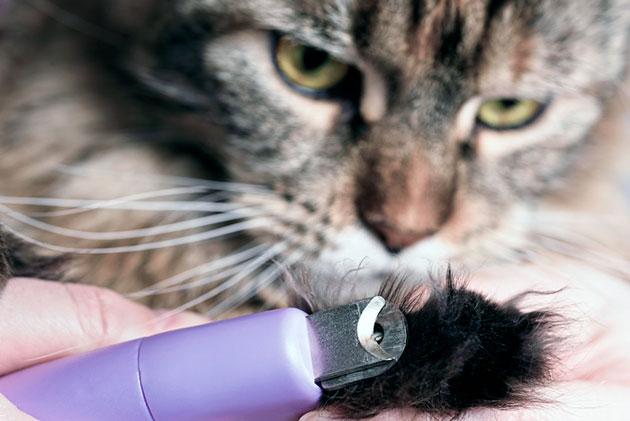Необходимо внимательно следить за когтями мейн-куна и периодически подстригать их