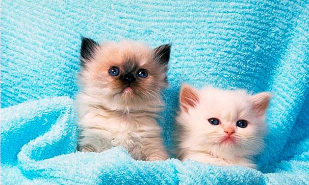 Рэгдоллы очень привязываются к семье где живут и кот это, или кошка - значения не имеет