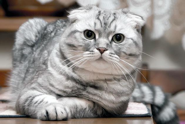 Характер кошек породы шотландская вислоухая