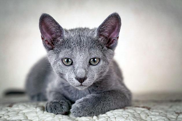 Болезни кошек породы русская голубая