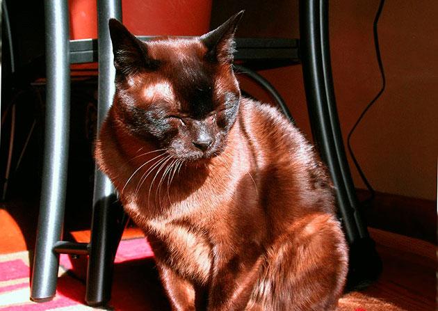 Болезни кошек породы Бурманская
