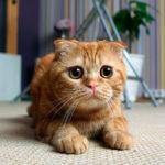 Распространенные болезни шотландской вислоухой кошки