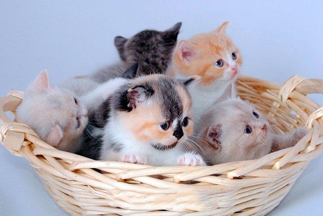 На сегодняшний день существует множество окрасов шерсти британской кошки